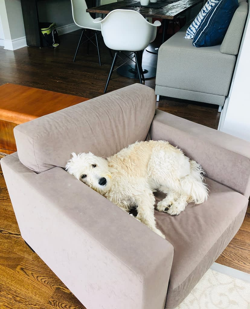 This an example of the complete failure of the no dogs on furniture rule.